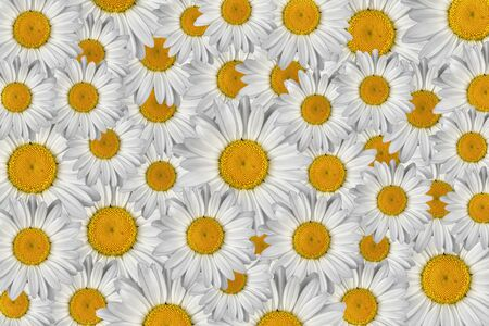 Marguerite flowers photo