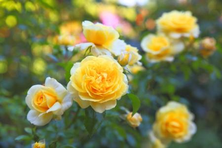 庭のいくつかオレンジの黄色いバラ 写真素材