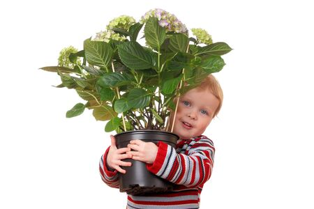 flowergirl: Portrait of a toddler holding a hydrangea flower on white background
