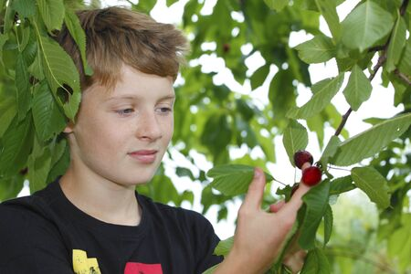 picks: Young boy picks a cherry from a tree Stock Photo