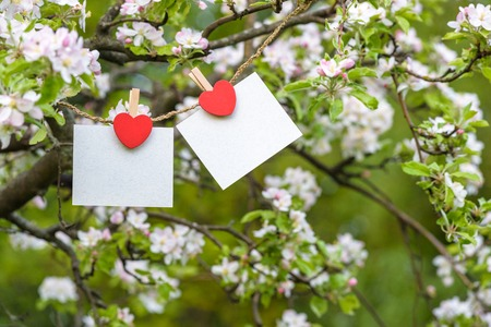 blank card pinned on blossom apple tree. Coppy space for wordings. Pinned with heart pins. Spring blossom branches of apple trees. Stock Photo