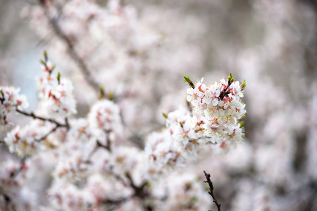 Cherry Blossoms blooming in nice spring garden Stock Photo