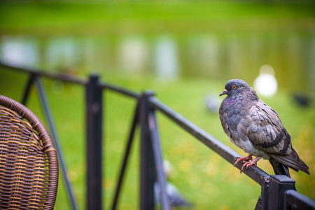 Gray pigeon dove on a fence in street cafe near table. lake and park on background