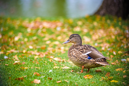 Duck stands on the Bank of the river near the grass. close up view from back. nature concept