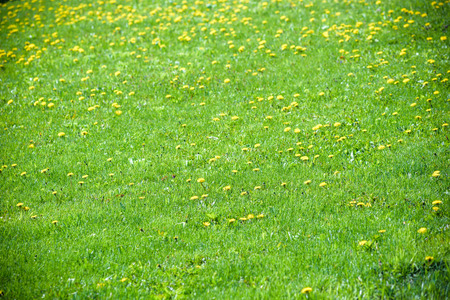 spring landscape yellow dandelion flowers in the grass. Stock fotó