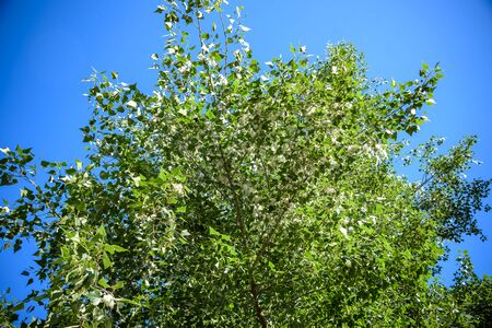 Poplar fluff on the branch among green grass. White fluff from poplar trees, allergies symptoms.