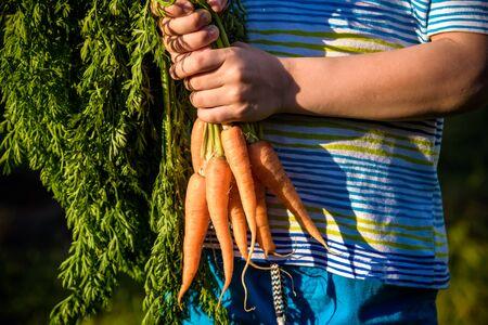 Cute little boy holding a bunch of fresh organic carrots in domestic garden. Healthy family lifestyle. Reklamní fotografie