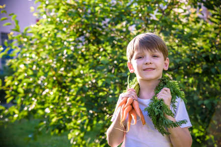 cute preschool blond little kid boy with carrots in domestic garden. Child gardening and eating outdoors. Healthy organic vegetables as snack for kids and kindergarten children. 写真素材
