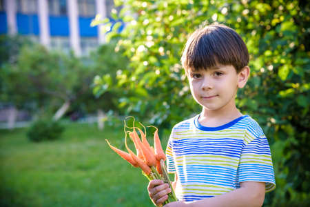 Little kid boy holding a fresh harvested ripe carrots in his hands. Close up.