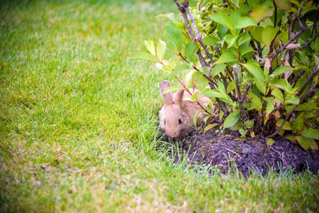 cute grey rabbit hiding under the green bushes in the park near the grass field under the sun.