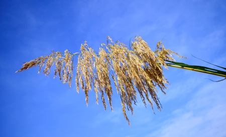 Reed flowers in full bloom and blue sky background Stock Photo