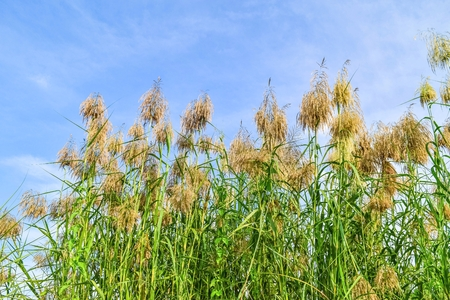 bullrush: Reed flowers in full bloom and blue sky background Stock Photo