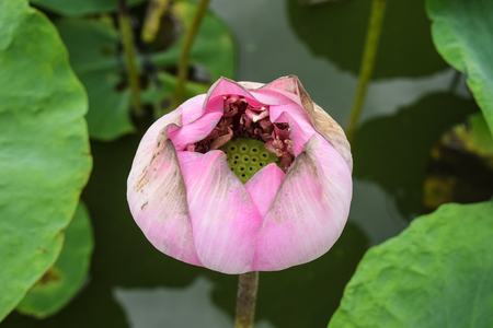 Old pink lotus on water background