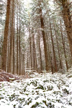 snow forest trees Stok Fotoğraf