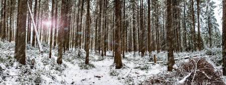 snow forest panorama