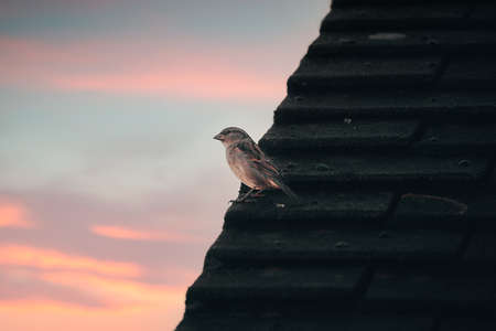 """""""Early bird catches the worm"""", sparrow sat on a roof top searching for prey during a sunrise."""