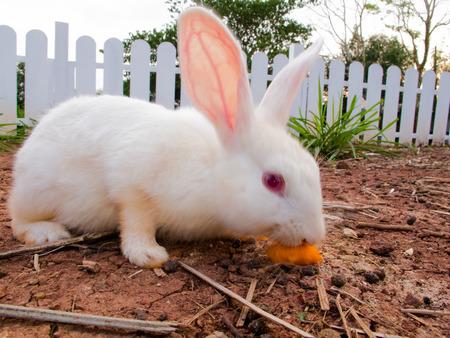 wit konijn: wit konijn in de graden