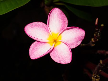 marco pink Plumeria photo