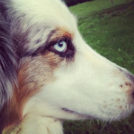 eye: austrilian shepard Stock Photo