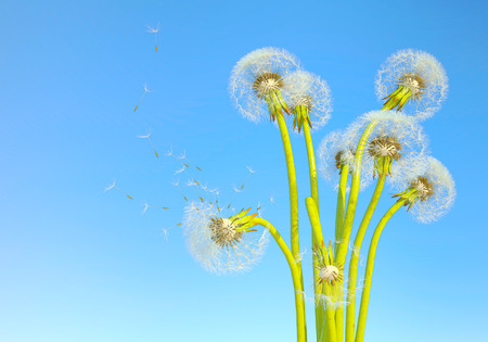 dandelion wind: Dandelions with seeds blowing away in the wind across a clear blue sky.