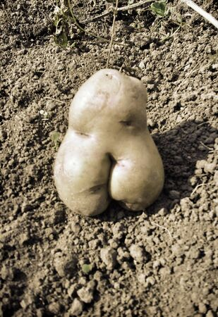 silhouette femme: Potatoes of an unusual form, potatoes in the form of a female figure. Мodel size + Banque d'images
