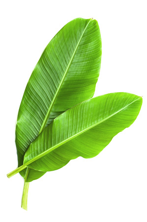 Banana leaves isolated over white
