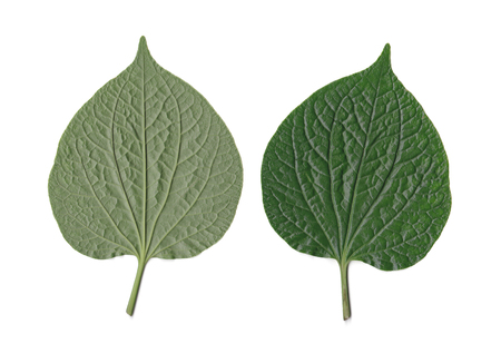 piper: Wildbetal leafbush or piper sarmentosum. Left for back side and right for front side isolated over white.