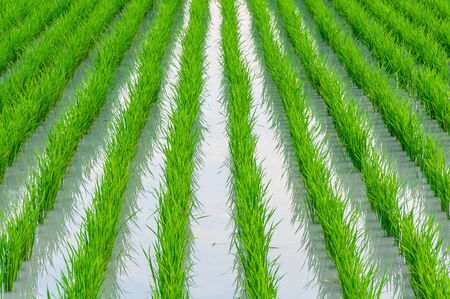 Row of young green paddy rice field with water in rural area of Thailand