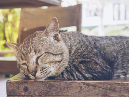 Lovely lazy cat Thai home pet