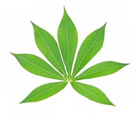 美しいキャッサバ葉