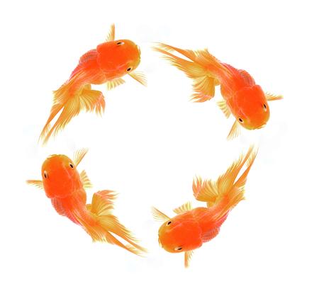 goldfish isolated: Red Goldfish Isolated on White Background