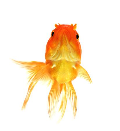 ichthyology: Red Goldfish on White Background