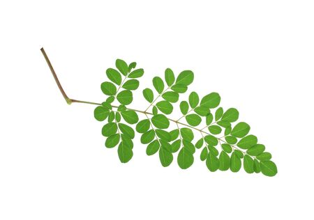 oleifera: Moringa oleifera leaves isolated on white background Foto de archivo