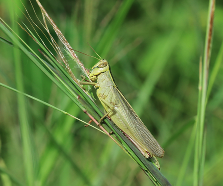 caelifera: Grasshopper perching on green grass Stock Photo