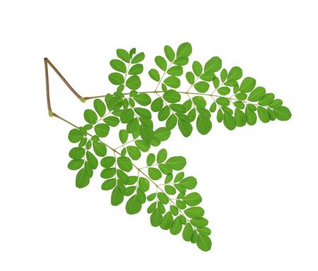 モリンガを提供しました葉に孤立した白い背景 写真素材 - 48305741