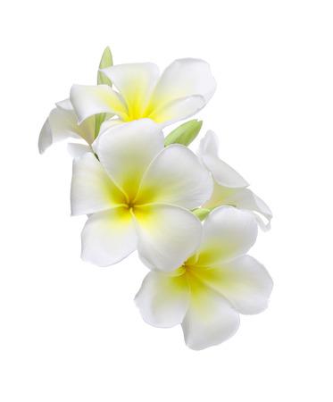 white card: Frangipani flower isolated on white background