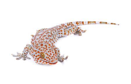 tokay gecko: Tokay gecko on white background