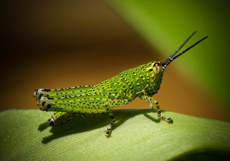 caelifera: Grasshopper perching on a leaf