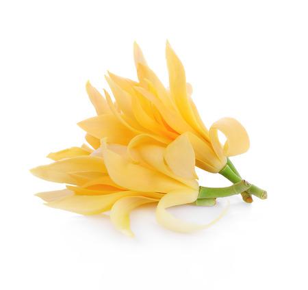 magnolia tree: Champaka on white background
