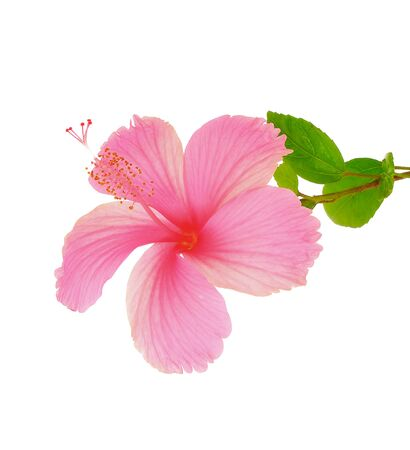 Hibiscus rosa sinensis, isolated on white