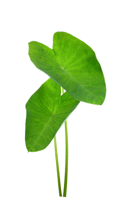 Elephant Ears Taro (colocasia esculenta) leaves isolated on white background