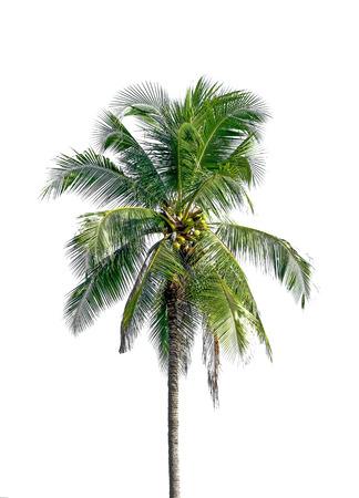 coconut tree on white background 写真素材