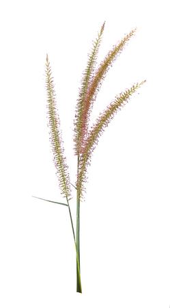 Cornflower like grass flower isolated on white background
