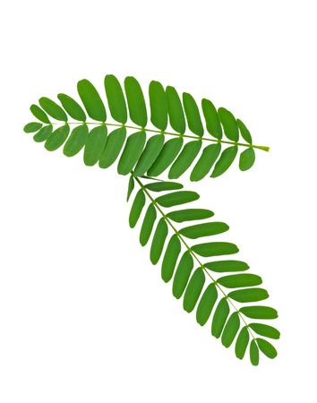 tamarind leaf isolated on white background 写真素材 - 105601895
