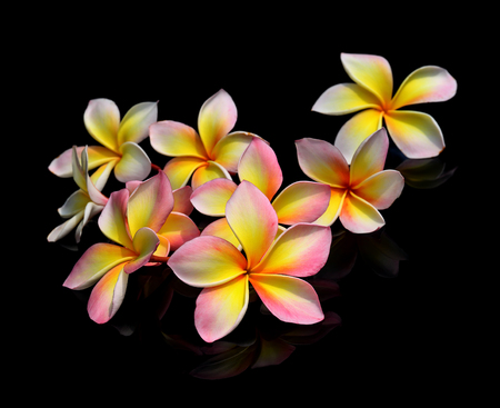 plumeria flowers on black background. 写真素材