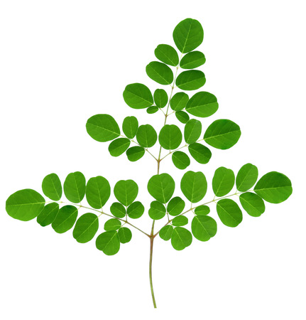 Moringa leaves isolate on white background. 写真素材