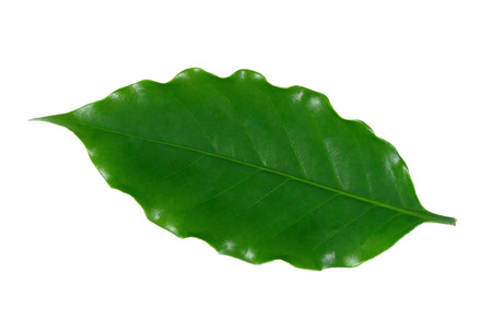 Coffee leaf isolate on  white background. 写真素材