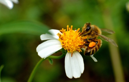 Bee collects pollen and  honey