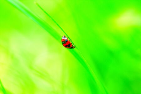 Ladybug walks on grass in a garden photo