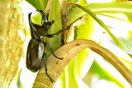 horn beetle: Horn beetle on tree in sunny day